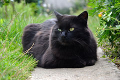 Stående av den tjocka långa hårsvartChantilly Tiffany katten som kopplar av i trädgården Closeup av den feta hankatten med att be Royaltyfri Foto