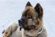 Stående av den trevliga berghunden Royaltyfri Foto