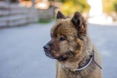 Stående av den trevliga berghunden Royaltyfria Bilder