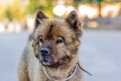 Stående av den trevliga berghunden Fotografering för Bildbyråer