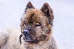 Stående av den trevliga berghunden Arkivfoton