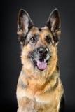 Tysk sheepdog på mörkerbakgrunden royaltyfri foto