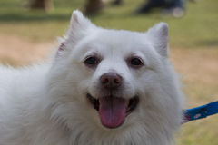 Stående av den tyska Spitzhunden Royaltyfri Bild