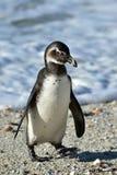 Stående av den unga afrikanska pingvinet (spheniscusdemersusen) Arkivfoton