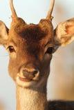 Stående av den unga hjortbocken Arkivfoton