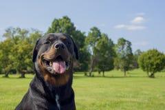 Stående av den unga vuxna rottweilerhunden med lyckligt uttryck arkivbild