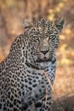 Stående av den ursnygga manliga leoparden royaltyfria bilder