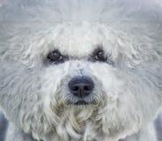 Stående av den vita Bishon frisehunden Arkivfoton