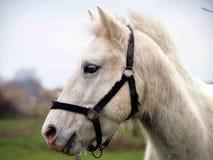 Stående av den vita hästen Arkivbild