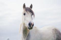Stående av den vita hästen som ser bort i Nya Zeeland Fotografering för Bildbyråer