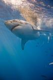Stående av den vita hajen royaltyfri fotografi