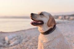Stående av den vita labrador retriever valpen på stranden Arkivbilder