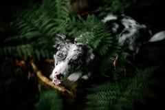 Stående av den vita och svarta hunden border collie med stora öron som ser hålla ögonen på upp över ormbunketungan arkivbilder