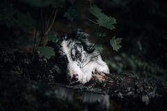 Stående av den vita och svarta hunden med stora öron som ser hålla ögonen på upp royaltyfri fotografi
