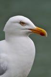 Stående av den vita seagullen Arkivbild