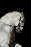 Stående av den vita sporthästen Royaltyfria Bilder