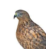 Stående av den vulturine fågeln Royaltyfri Foto
