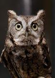 Stående av den wild owlen Arkivbild