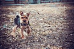 Stående av den Yorkshire terriern, grönt gräs in Fotografering för Bildbyråer