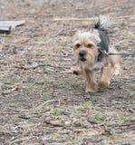 Stående av den Yorkshire terriern, grönt gräs in Arkivfoton