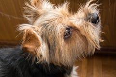 Stående av den Yorkshire terriern, grönt gräs in Royaltyfria Bilder