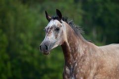 Stående av dengråa arabiska hästen i rörelse Arkivbilder
