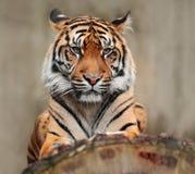 Stående av det farliga djuret Sumatran tiger, Pantheratigris sumatrae, sällsynt tigerunderart som bebor den indonesiska ön Royaltyfri Bild