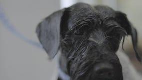 Stående av det fluffiga gulliga svarta valpslutet upp Förtjusande hund som skakar i husdjursalongen efter ha ansat och tvätten arkivfilmer