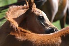 Stående av det gamla kastanjebruna arabiska fölet för några veckor Fotografering för Bildbyråer