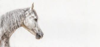 Stående av det gråa arabiska hästhuvudet på ljus bakgrund, profilbilder Royaltyfria Bilder