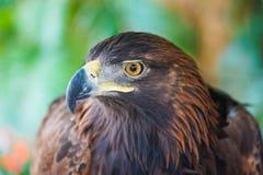 Stående av det guld- Eagle slutet upp tät örnhuvudstand som plattforer upp Arkivbilder