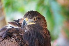Stående av det guld- Eagle slutet upp tät örnhuvudstand som plattforer upp Royaltyfri Bild