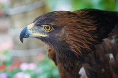Stående av det guld- Eagle slutet upp tät örnhuvudstand som plattforer upp Royaltyfri Fotografi