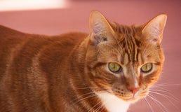 Stående av det gulliga inhemska röda kattslutet upp på den rosa bakgrunden arkivbilder
