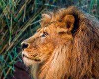 Stående av det manliga lejonet Arkivfoto