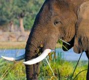 Stående av elefantnärbilden zambia Fäll ned den Zambezi nationalparken Arkivfoto