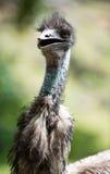 Stående av emu Royaltyfri Bild