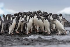 Stående av en Adelie pingvin Gå mot hav för Adelie pingvin men någon ändring deras meningar och gånget tillbaka mot strömmen arkivbild