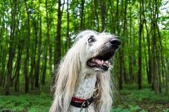 Stående av en afghansk hund i bakgrunden av skogen arkivbilder