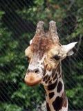 Stående av en afrikansk giraff, närbild arkivbilder