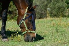 Stående av en anglo arabsardinia häst Arkivfoto