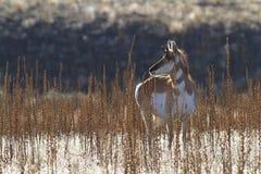 Stående av en antilop Arkivfoto