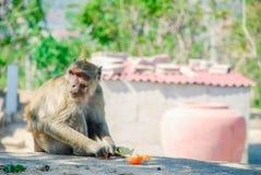 Stående av en apa som äter en apelsin, Thailand royaltyfria bilder