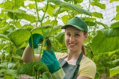 Stående av en arbetare med en spjällåda av nya gurkor Royaltyfria Foton