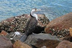 Stående av en australiensiska ibis i Sydney Royaltyfria Bilder