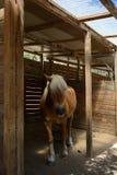 Stående av en avellinese brun häst med blond man Royaltyfria Foton