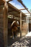 Stående av en avellinese brun häst med blond man Royaltyfri Fotografi