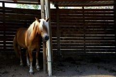 Stående av en avellinese häst med blond man Fotografering för Bildbyråer
