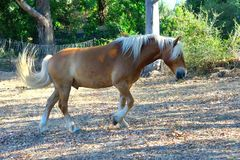 Stående av en avellinese häst med blond man Royaltyfri Fotografi