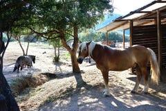 Stående av en avellinese häst med blond man i en paddock av en ridning Arkivbild